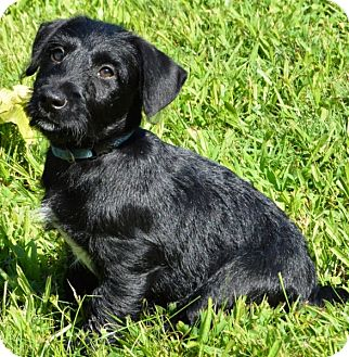 Scottie, Scottish Terrier Mix Puppy for adoption in Pleasant Plain, Ohio - French