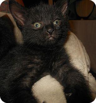 Domestic Shorthair Kitten for adoption in Reston, Virginia - Malachi