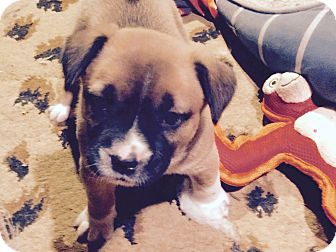 Australian Cattle Dog/Boxer Mix Puppy for adoption in Englewood, Colorado - TIFFANY