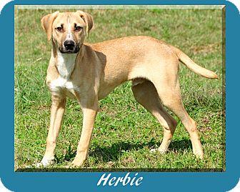 Labrador Retriever Mix Puppy for adoption in Hillsboro, Texas - Herbie