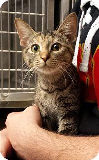 Domestic Shorthair Cat for adoption in Stillwater, Oklahoma - Whisper