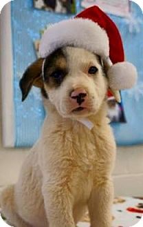 Shepherd (Unknown Type)/Hound (Unknown Type) Mix Puppy for adoption in Barnegat, New Jersey - Bialy