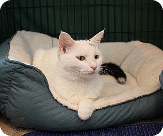 Domestic Shorthair Kitten for adoption in Carlisle, Pennsylvania - Flower