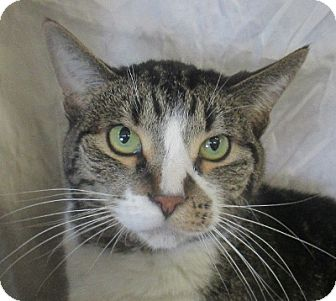 Domestic Shorthair Cat for adoption in Lloydminster, Alberta - Deniro