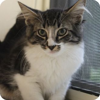 Domestic Longhair Kitten for adoption in Naperville, Illinois - Orson