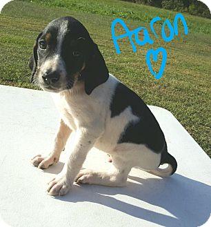 Beagle Mix Puppy for adoption in Burlington, Vermont - Aaron