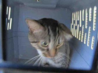 Domestic Mediumhair Cat for adoption in Arcadia, Florida - TOM