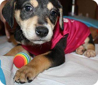 Labrador Retriever Mix Puppy for adoption in Brooklyn, New York - Vienna