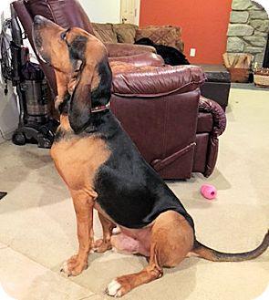 Bloodhound Dog for adoption in New York, New York - Wilbur