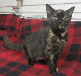 Domestic Shorthair Cat for adoption in Elkins, West Virginia - Willa