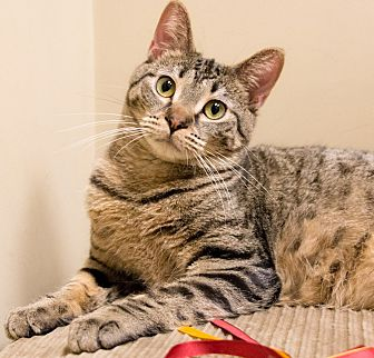 Domestic Shorthair Cat for adoption in Chicago, Illinois - Alister