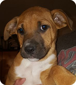 Boxer/American Staffordshire Terrier Mix Puppy for adoption in Los Angeles, California - BJ