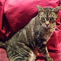 Domestic Shorthair Cat for adoption in Plandome, New York - Iris