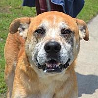 Labrador Retriever/Husky Mix Dog for adoption in Wilmington, North Carolina - Bernie