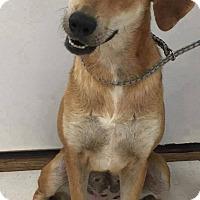 Adopt A Pet :: Peaches - New Oxford, PA