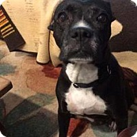Boxer/Pit Bull Terrier Mix Dog for adoption in Newport, Kentucky - Capri