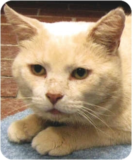 Domestic Shorthair Cat for adoption in Centerburg, Ohio - Romeo