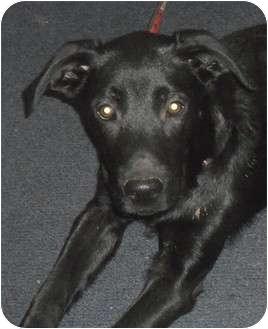 Labrador Retriever Dog for adoption in Sidney, Ohio - Midnight