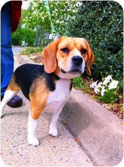 Beagle Mix Dog for adoption in Alexandria, Virginia - Luna
