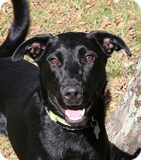 Labrador Retriever Mix Dog for adoption in Sacramento, California - Dubu