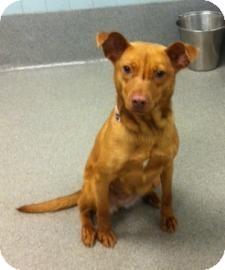 Labrador Retriever Mix Dog for adoption in Columbus, Georgia - Darla 7817