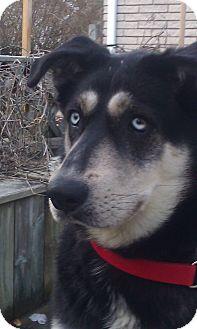 Husky/German Shepherd Dog Mix Dog for adoption in Belleville, Michigan - Bailey