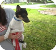 Jack Russell Terrier Mix Puppy for adoption in Lewisville, Indiana - Pedro