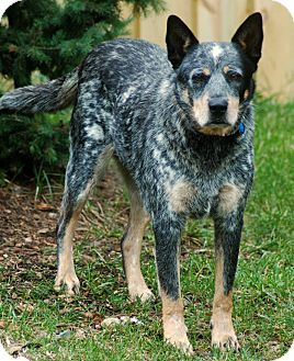 Australian Cattle Dog Dog for adoption in Delano, Minnesota - Jango