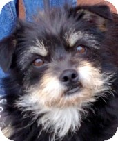 Terrier (Unknown Type, Small) Mix Dog for adoption in Los Angeles, California - Coco *VIDEO*