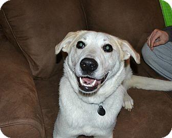 Great Pyrenees/Labrador Retriever Mix Dog for adoption in Huntsville, Alabama - Daisy