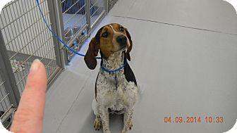 Hound (Unknown Type) Mix Dog for adoption in Sandusky, Ohio - WALLY