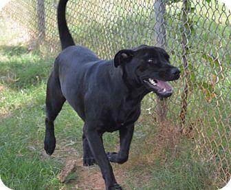 Labrador Retriever Mix Dog for adoption in East Windsor, Connecticut - Hudson