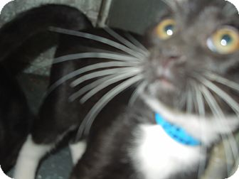 Domestic Shorthair Kitten for adoption in Medina, Ohio - Thumper