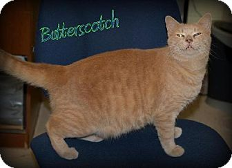 Domestic Shorthair Cat for adoption in Lewisburg, West Virginia - Butterscotch