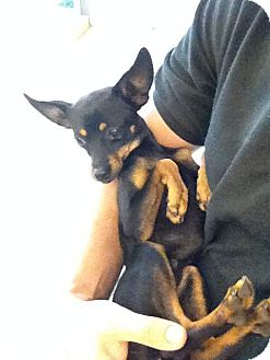 Miniature Pinscher Mix Dog for adoption in Oceanside, California - Guage