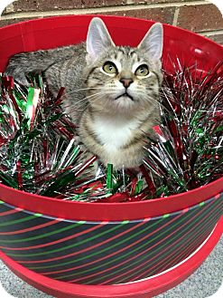 Domestic Shorthair Kitten for adoption in Germantown, Tennessee - Pocahontas