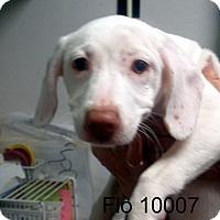 Adopt A Pet :: Flo - Greencastle, NC
