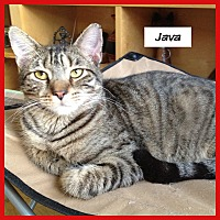 Domestic Shorthair Cat for adoption in Miami, Florida - Java