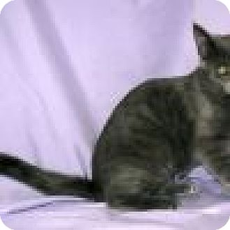 Domestic Shorthair Cat for adoption in Powell, Ohio - Skyler