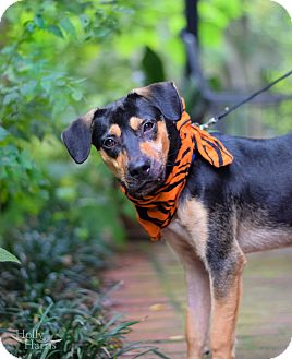 Shepherd (Unknown Type) Mix Dog for adoption in Baton Rouge, Louisiana - Toby