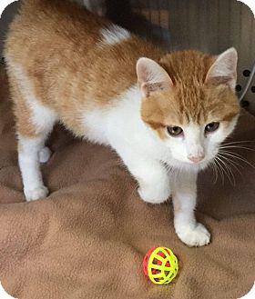 Domestic Mediumhair Kitten for adoption in Mansfield, Texas - Cashew