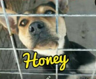 Blue Heeler/Shepherd (Unknown Type) Mix Dog for adoption in Odessa, Texas - Honey