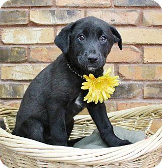 Labrador Retriever Mix Puppy for adoption in Benbrook, Texas - Brianna