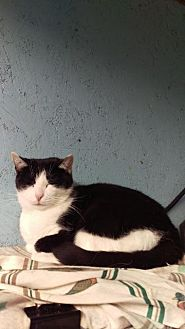 Domestic Shorthair Cat for adoption in Brainardsville, New York - Elsie