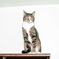 Domestic Shorthair Cat for adoption in Chicago, Illinois - Albella