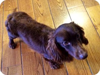 Dachshund Dog for adoption in Erwin, Tennessee - Barnaby