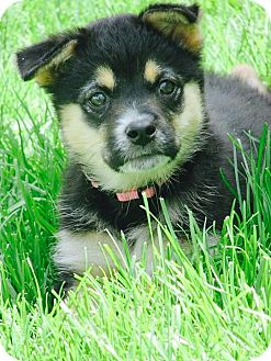 Shepherd (Unknown Type) Mix Puppy for adoption in Columbia Heights, Minnesota - Nadia