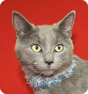Domestic Shorthair Cat for adoption in Jackson, Michigan - Buddy