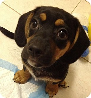 Yorkie, Yorkshire Terrier/Beagle Mix Puppy for adoption in San Diego, California - Woody
