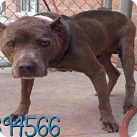 Staffordshire Bull Terrier Dog for adoption in San Antonio, Texas - JAY